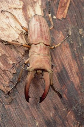 Mark Moffett - Stag Beetle, Sarawak, Borneo