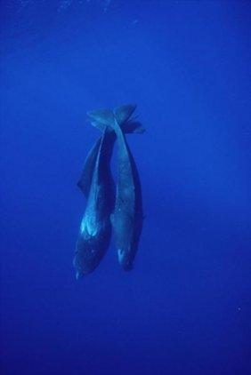 Flip Nicklin - Sperm Whale Trio Diving, Sri Lanka