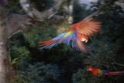 Tui De Roy - Scarlet Macaw Flying In Rainforest Canopy,