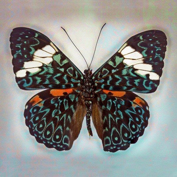 Richard Reynolds - Cracker Butterfly