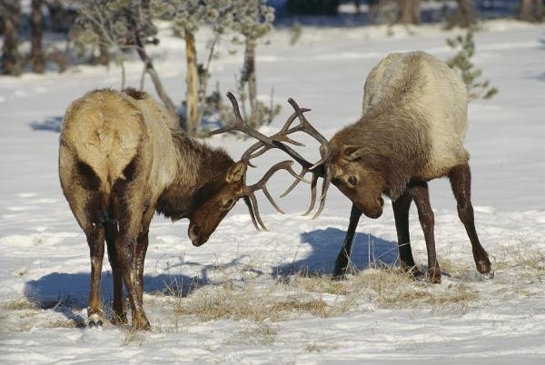 Konrad Wothe - Elk Bulls Fighting In The Snow,