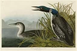 John James Audubon. Great Northern Diver or Loon
