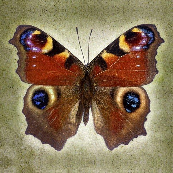 Richard Reynolds - Peacock Butterfly