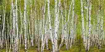 Don Johnston - White Birch Grove With Spring Foliage,