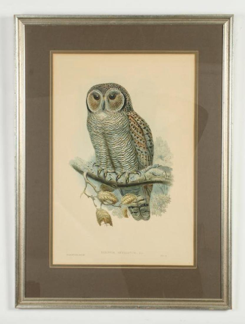 (2) COLOR LITHOGRAPHS OF OWLS J. WOLF & J .GOULD - 3