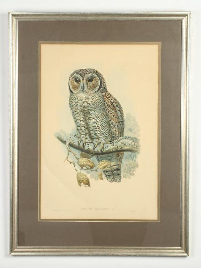 (2) COLOR LITHOGRAPHS OF OWLS J. WOLF & J .GOULD - 4