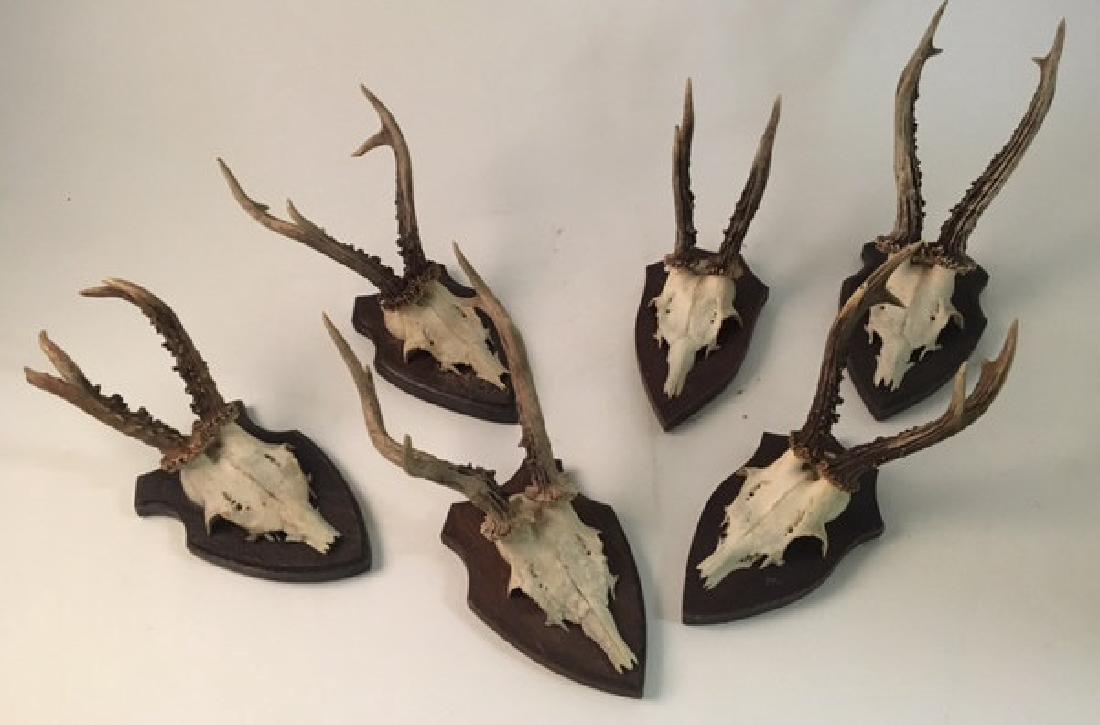 (6) MOUNTED ALPINE ROE DEER ANTLERS