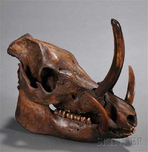 401: Wild Boar Skull, with articulated jaw bone, teeth