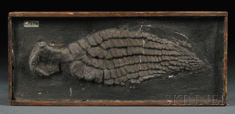 1: Ichthyosaurus Paddle Lyme Regis, Dorset, England 19t