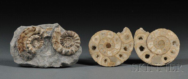 7: Two Ammonites Lyme Regis and Sherbourne, Dorset, Eng