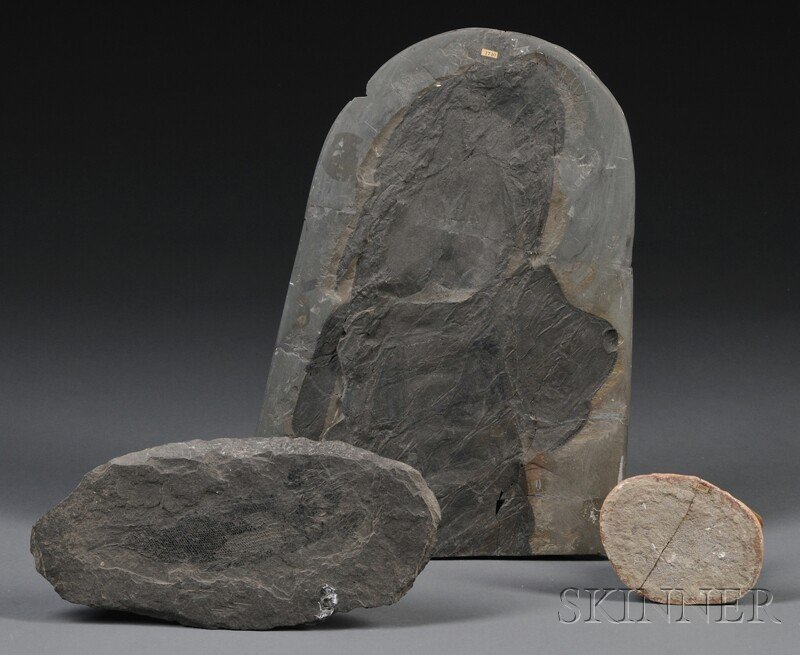 12: Three Fish Fossils  lg. 4 to 13 1/2 in. Provenance: