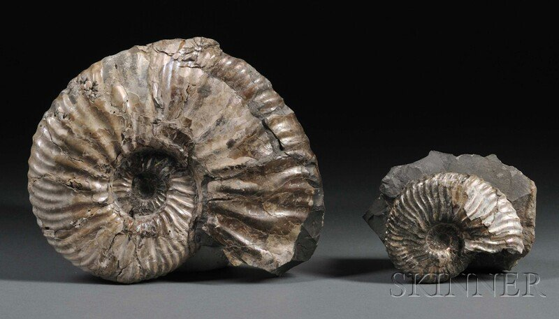 15: Two Ammonites The larger from Volga River, Russia,
