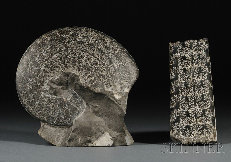 17: Two Ammonites White Cliffs of Dover, England Baculi