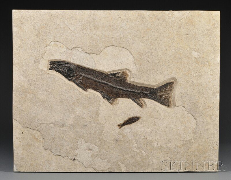 21: Fish Wyoming Green River FormationNotogoneus osculu