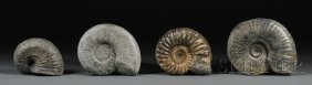 Four Ammonites Lyme Regis And Charmouth, Dorset, E