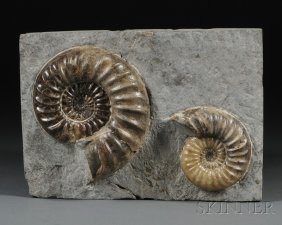 Ammonite Group Lyme Regis, Dorset, England Lower J