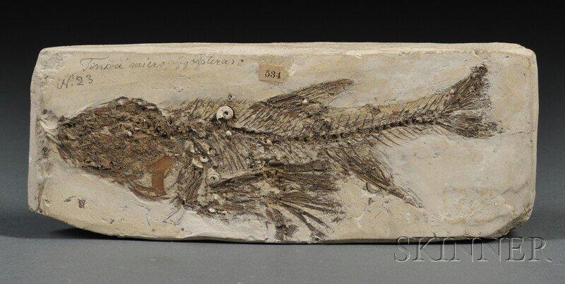 122: Fish Steinheim, Germany MioceneTinca micropygopter