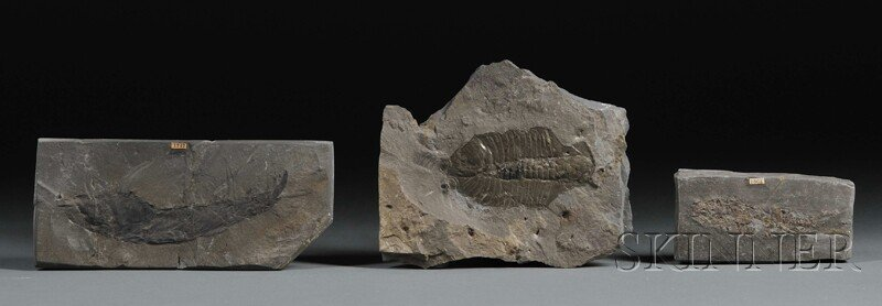 126: Group of Five Fossils England and Scotland includi