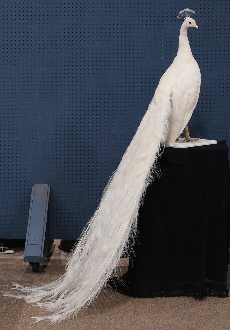 Large taxidermy trophy of an albino peacock - 2