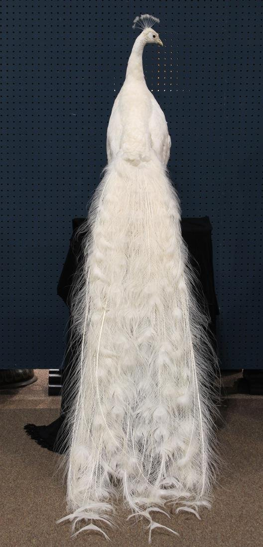 Large taxidermy trophy of an albino peacock - 3