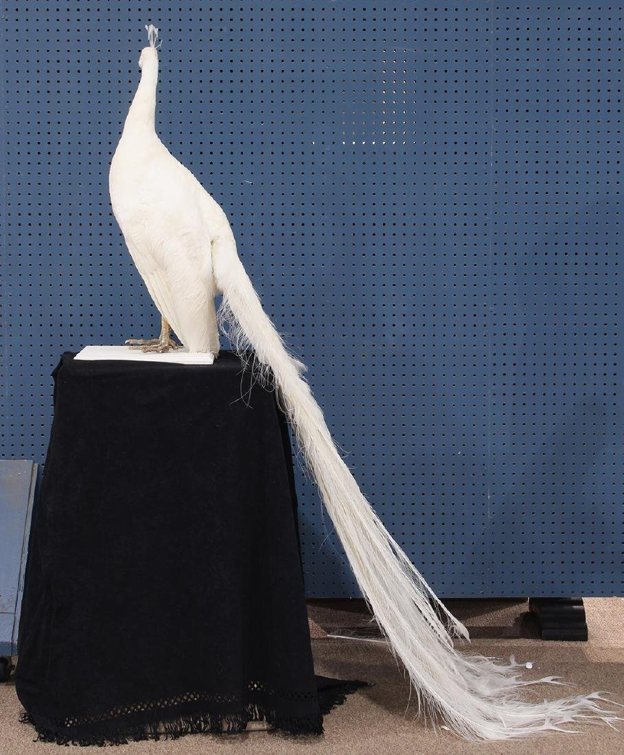 Large taxidermy trophy of an albino peacock - 4