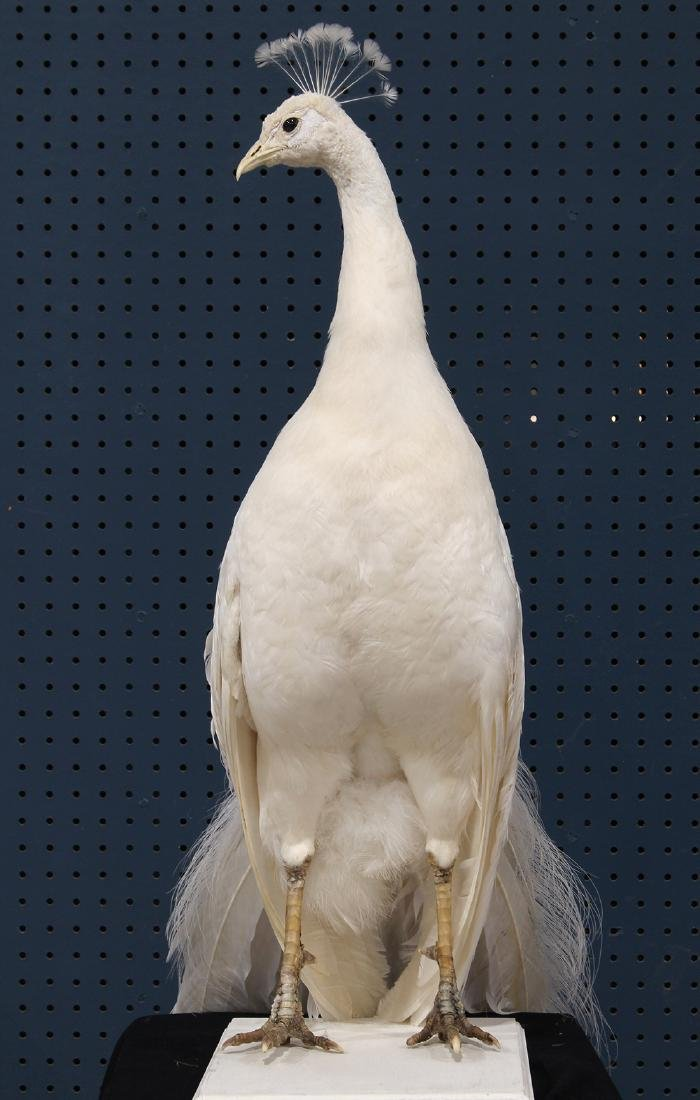 Large taxidermy trophy of an albino peacock - 5