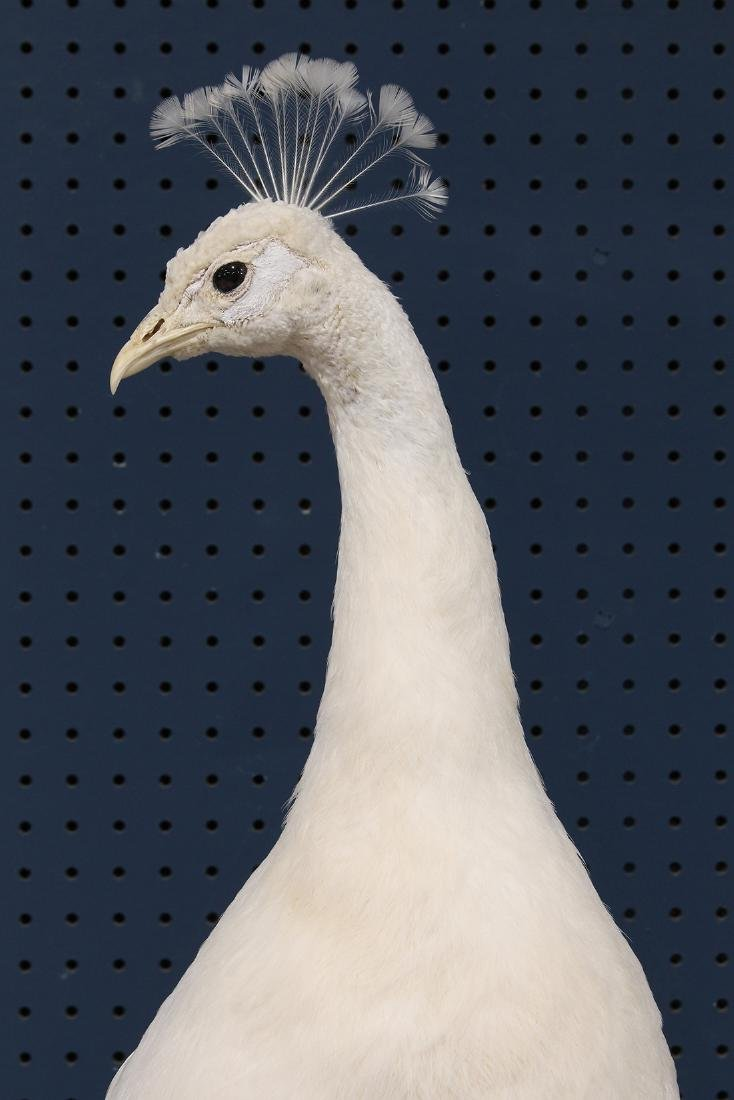 Large taxidermy trophy of an albino peacock - 7