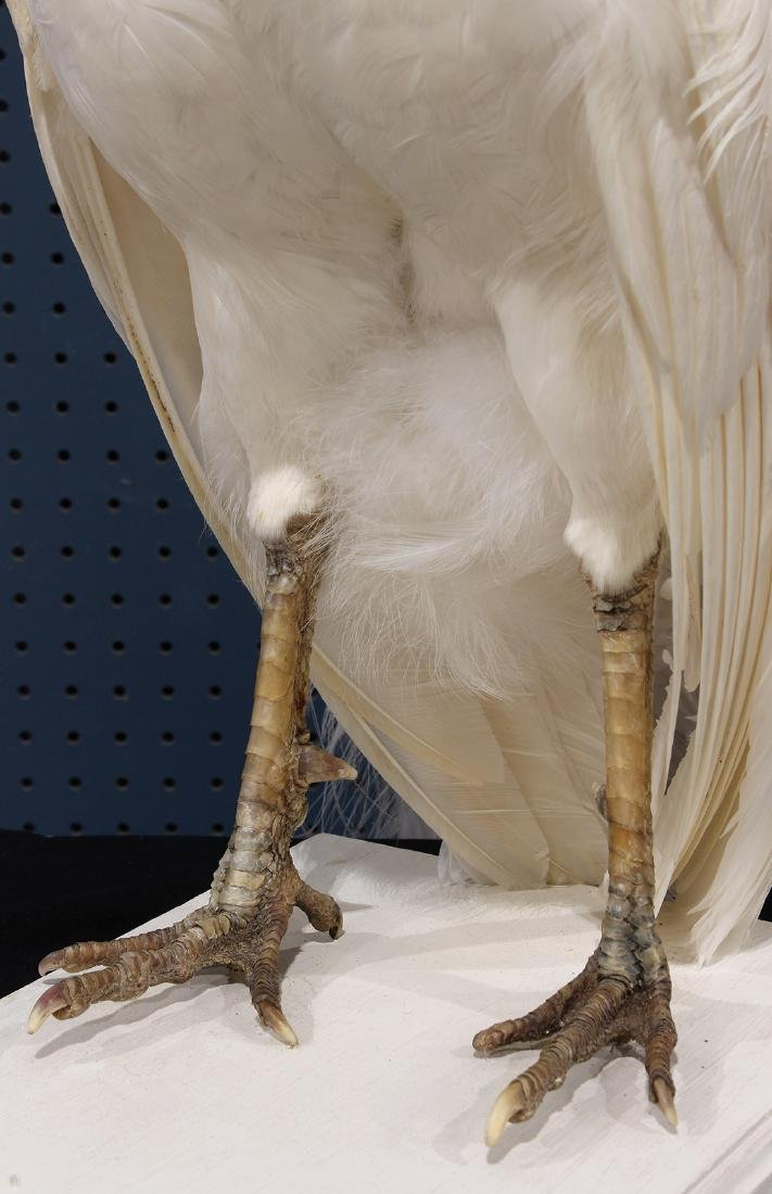 Large taxidermy trophy of an albino peacock - 8