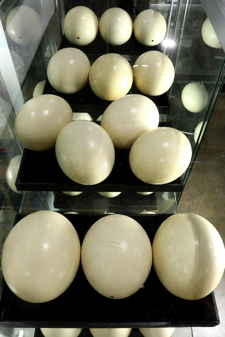 (lot of 13) Ostrich eggs, consisting of (13) eggs, each