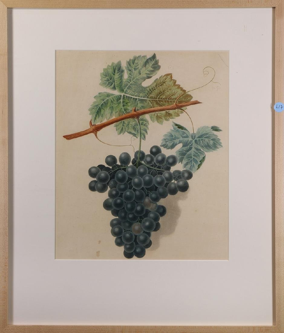 19th century Prints, Grape Varietals