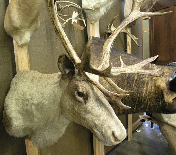 111: Large stuffed Caribou head