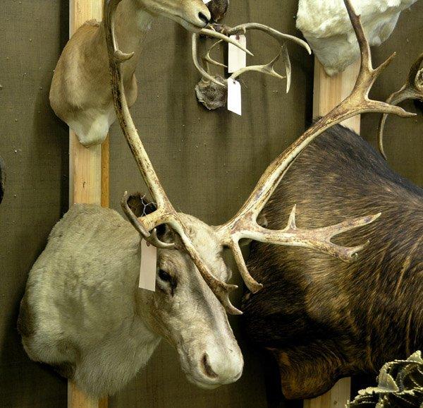 111: Large stuffed Caribou head - 2