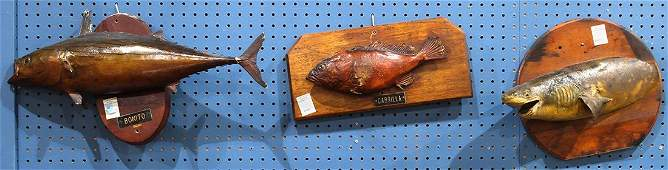 Fish trophy group including a Bonito a Cabrilla and
