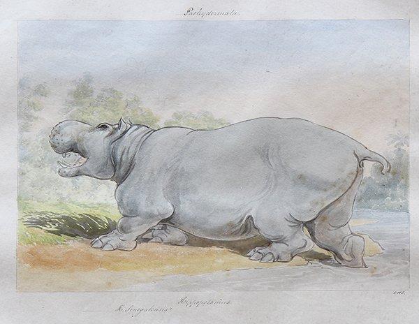 """Watercolor, """"Pachydermata, Hippopotamus"""""""