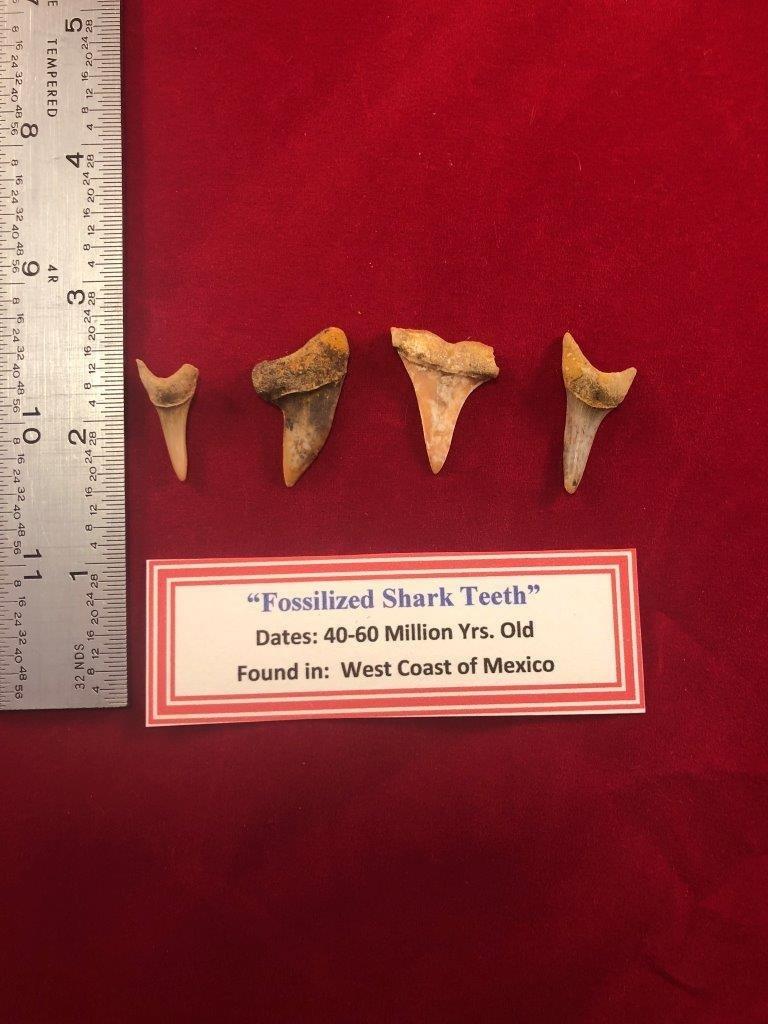 4 FOSSILIZED SHARK TEETH   INDIAN ARTIFACT ARROWHEAD