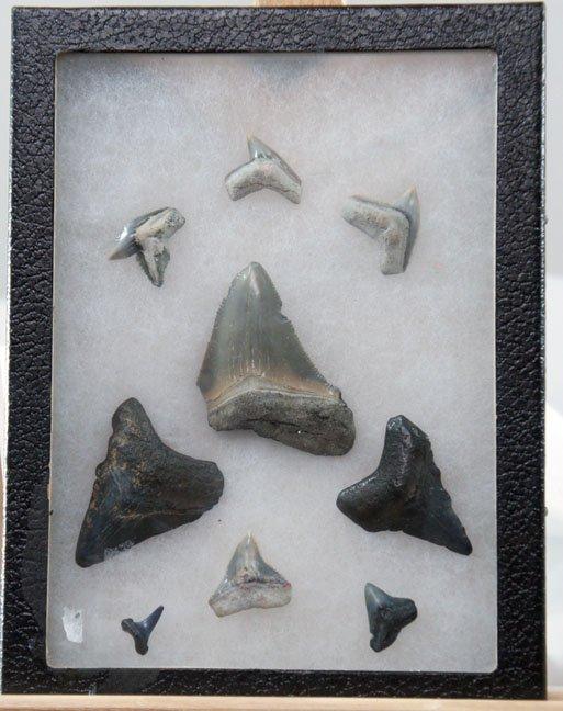 114:  FOSSILED GREAT WHITE SHARK'S TEETH,  NORTH CAROLI