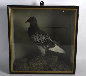 A LATE VICTORIAN GLASS CASED TAXIDERMY PIGEON contained
