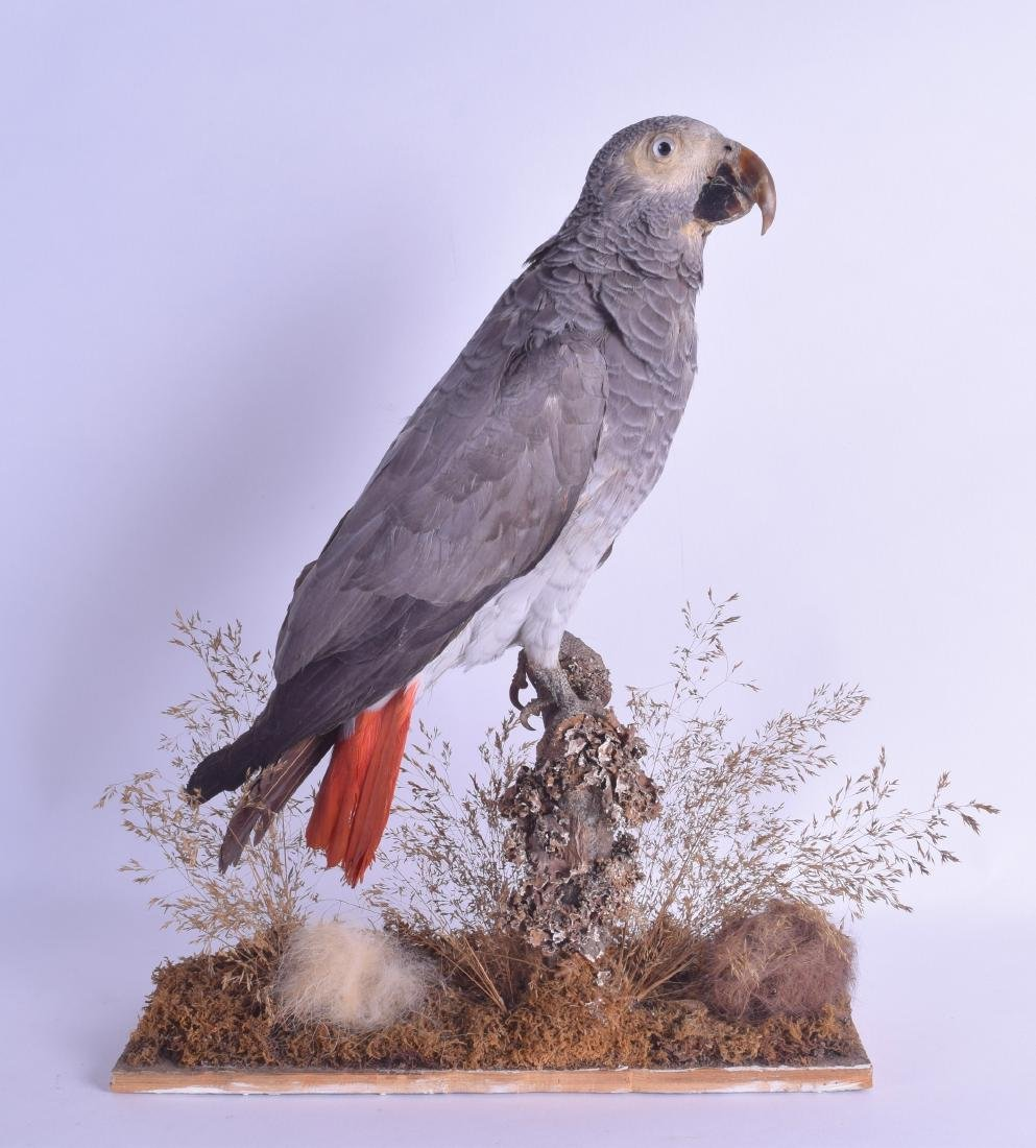 A LATE VICTORIAN/EDWARDIAN TAXIDERMY PARROT modelled
