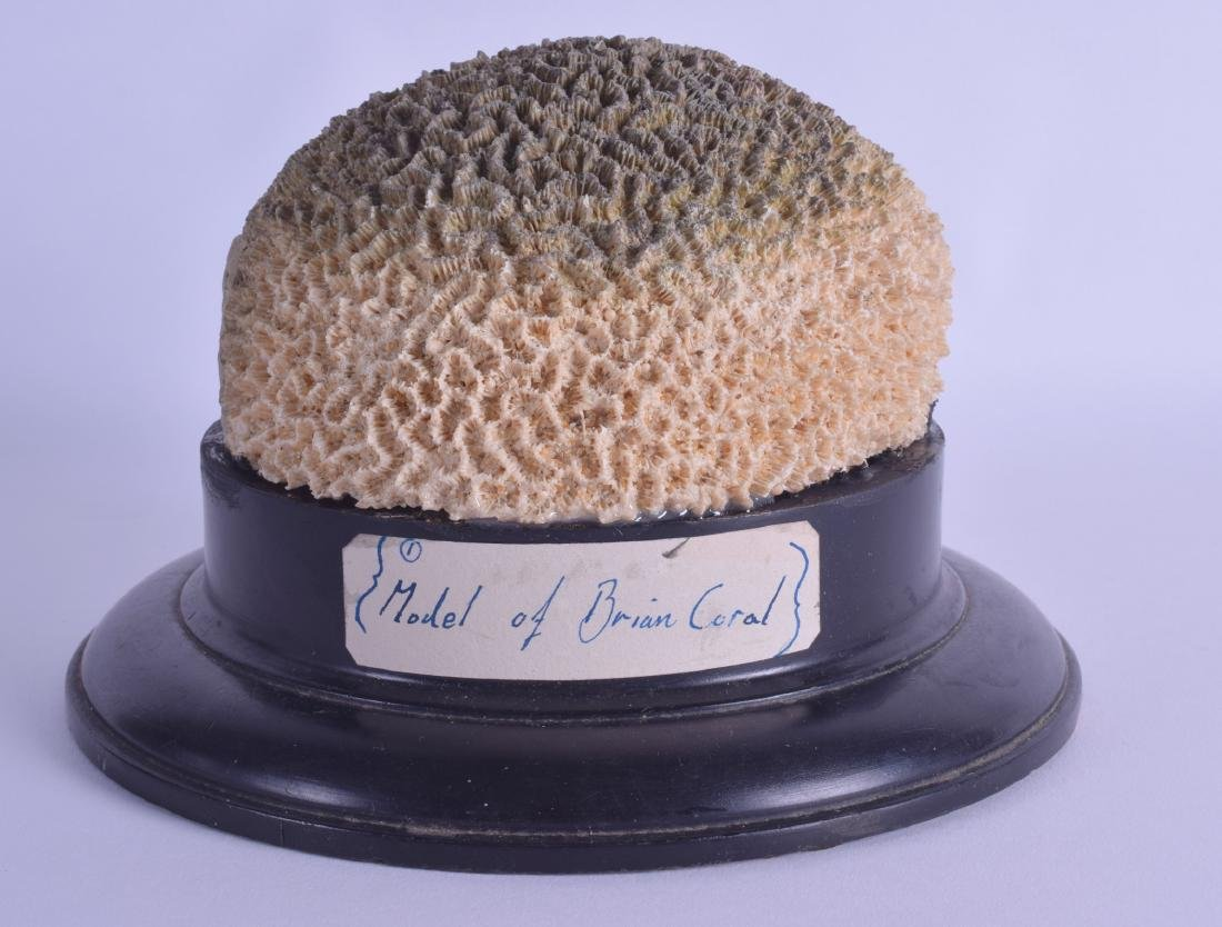 AN UNUSUAL MODEL OF A BRAIN CORAL upon an ebonised