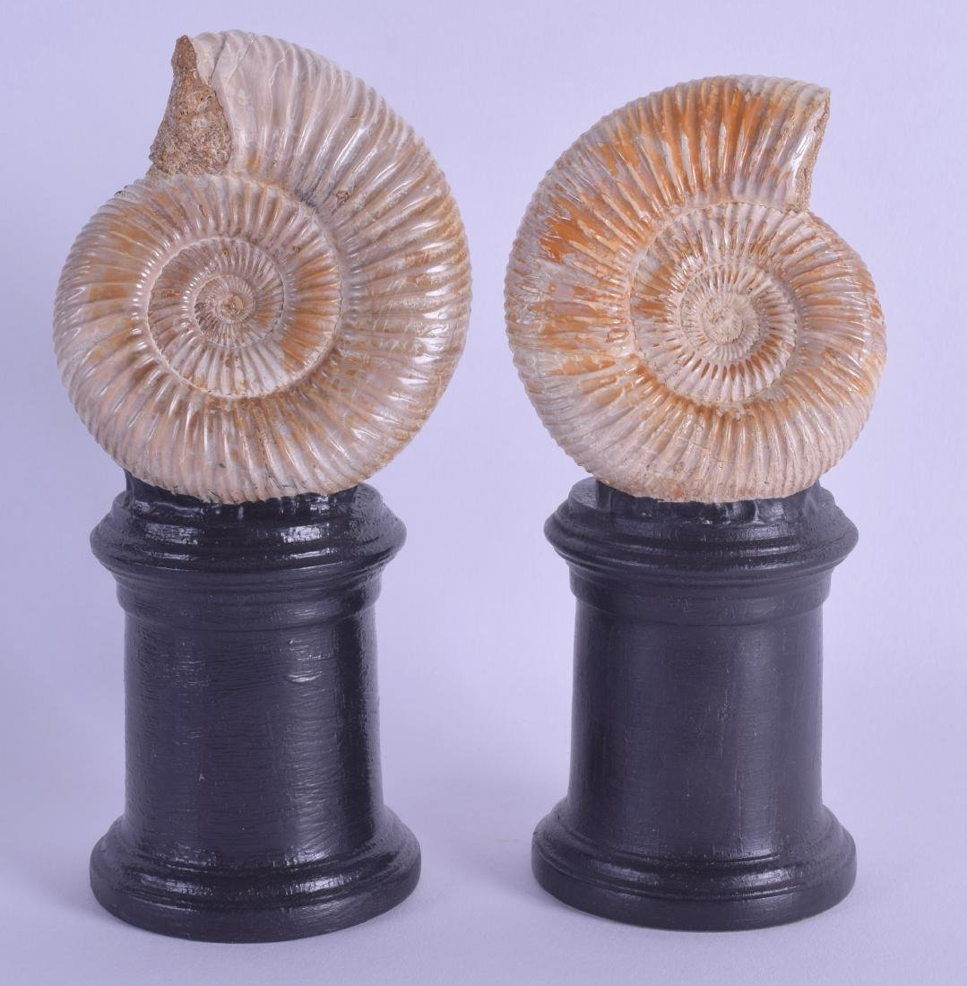 A PAIR OF POLISHED AMMONITES upon ebonised bases.