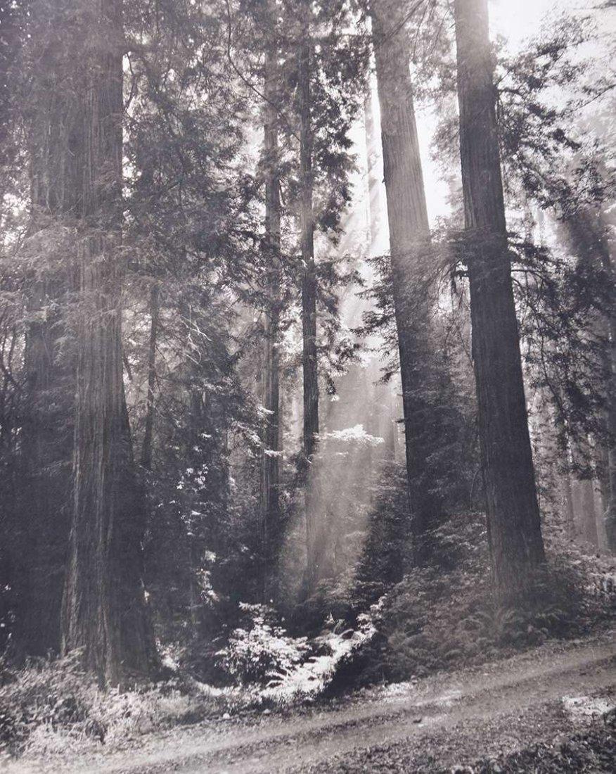 Nat Farbman Large Photo Redwood Trees c1950