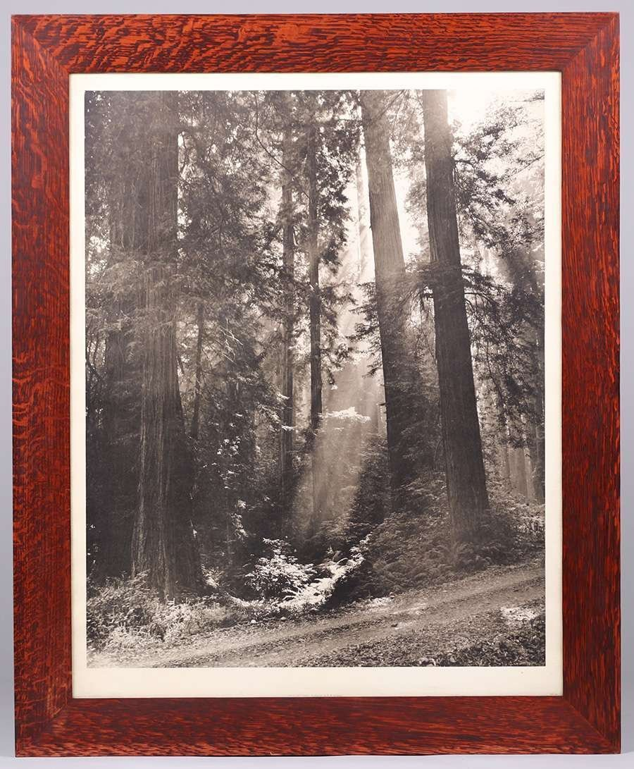 Nat Farbman Large Photo Redwood Trees c1950 - 2