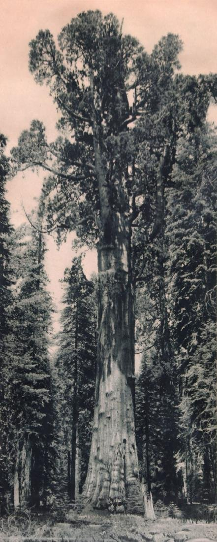 Antique Photo Yosemite of Grizzly Giant Sequoia Redwood