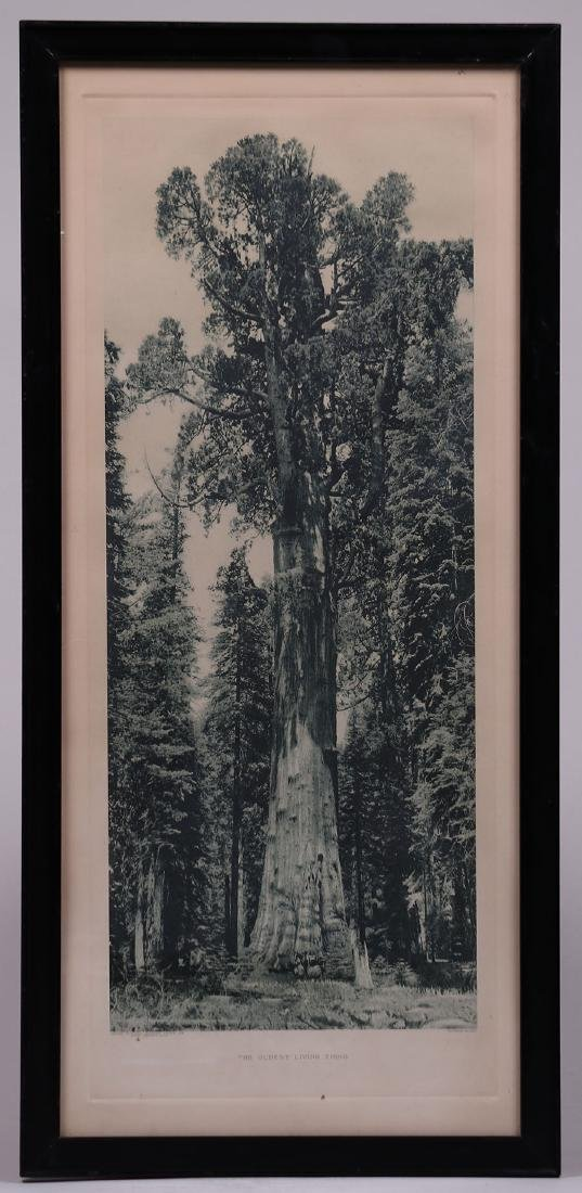 Antique Photo Yosemite of Grizzly Giant Sequoia Redwood - 2