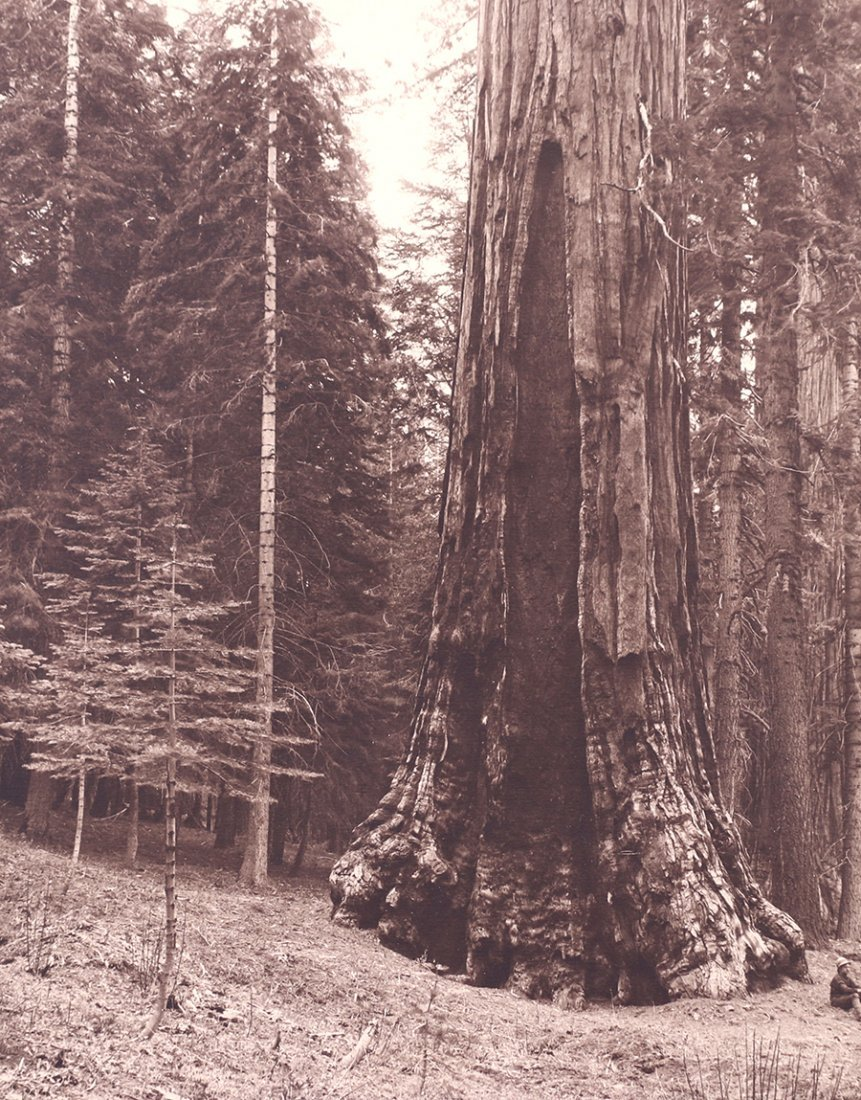 Antique Photo Yosemite's Grizzly Giant Sequoia Redwood
