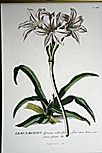 African Lilies Botanical