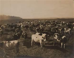 Edward Curtis, Dairy Herd, Puget Sound