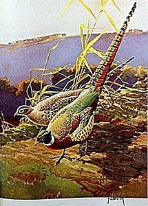 """Lithograph """"the Ringneck Pheasant"""" By Artist Francis"""