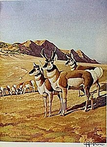 """Lithograph """"the Pronghorn Antelope"""" By Artist Francis"""