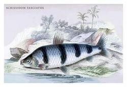 Schizodon Fasciatus 24x36 Giclee